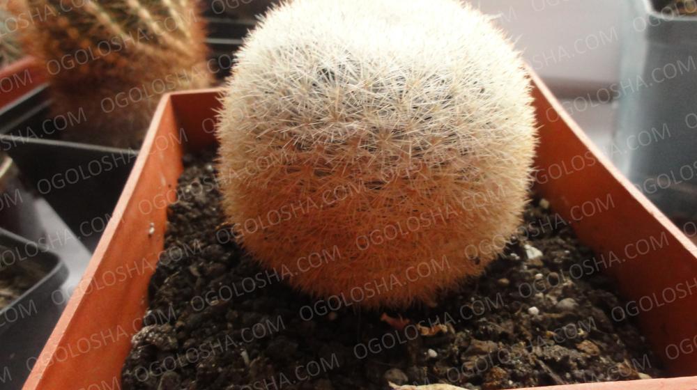 подам кактусы из коллекции специалиста