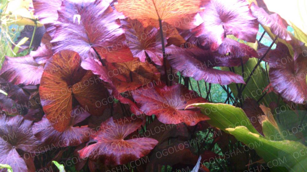 нимфея красная . аквариумное растение . растет без углекислоты .
