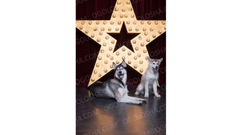Собака Сибирский Хаски для фотосессий