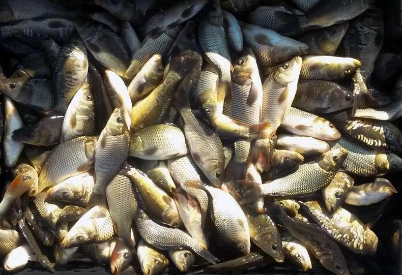 Продам живую рыбу товарную, зарыбок от производителя