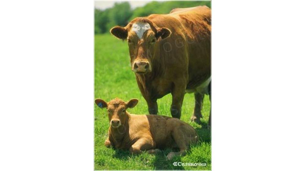 Куплю телят и коров