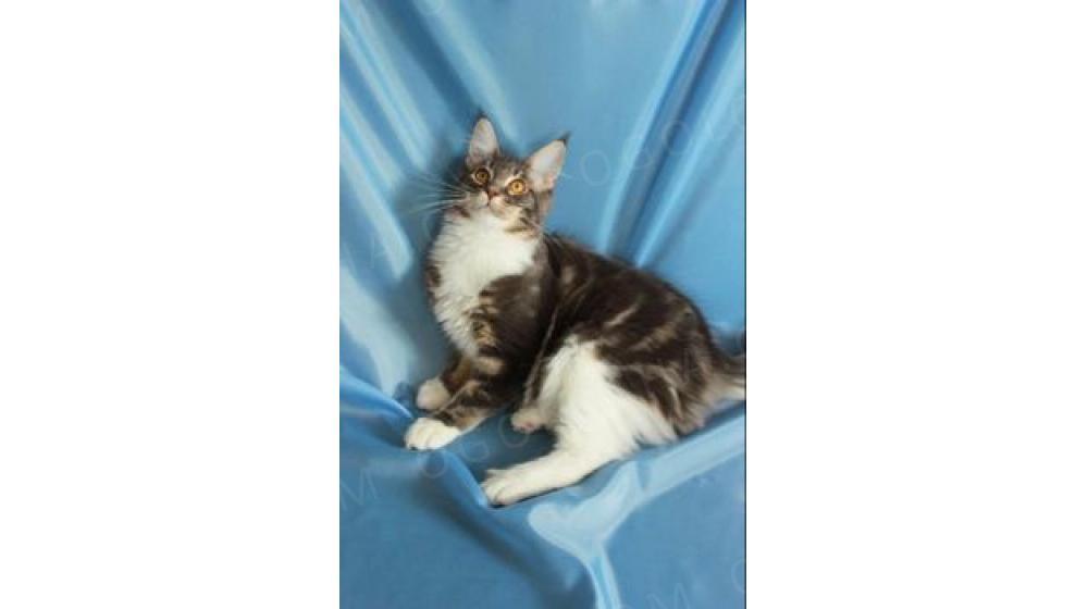 Шикарные котята Мейн Кун из питомника с документами
