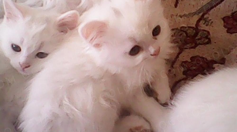 Продаю породистых котят