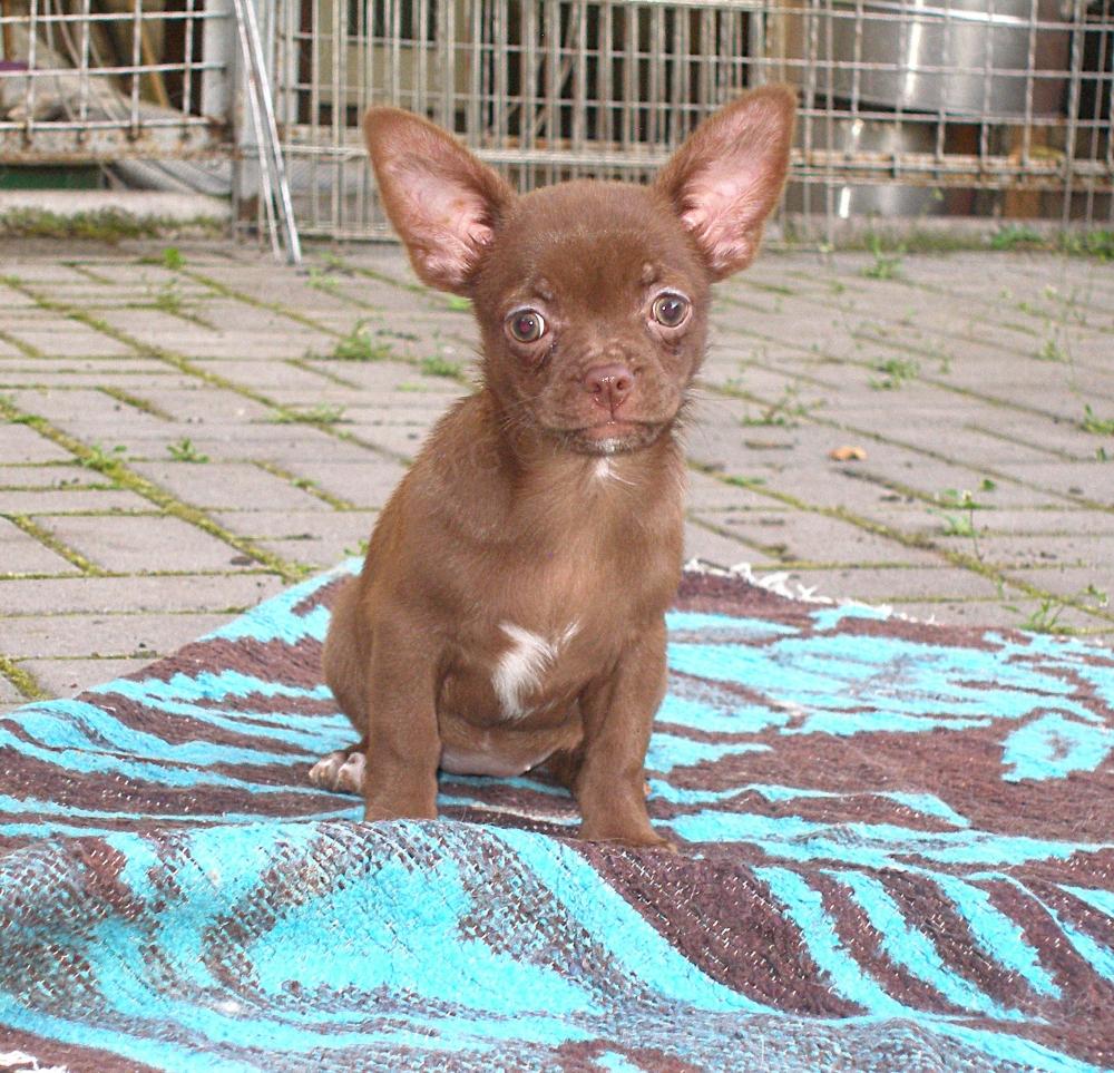 Красивая шоколадная девчонка чихуахуа.