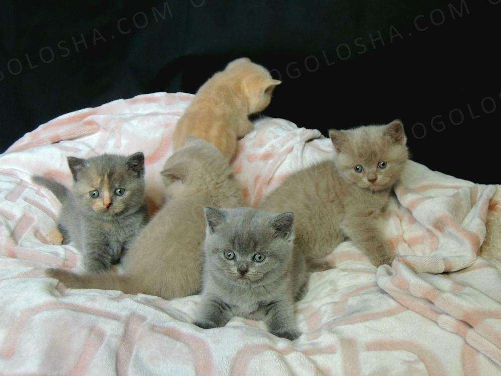 Британские котята разных окрасов