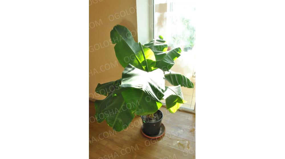 Комнатное Банановое дерево! (размеры: от саженца до 2 метров, цены: от 140 грн)