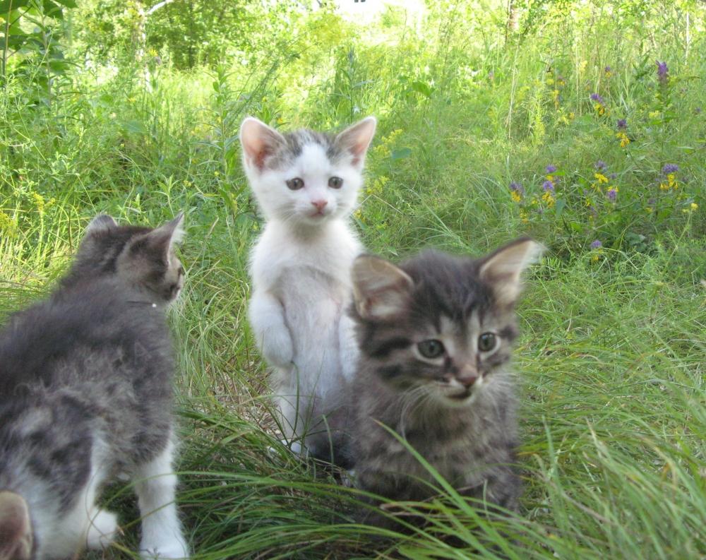 Котята - солнечные пушистые клубочки ждут своих хозяев!
