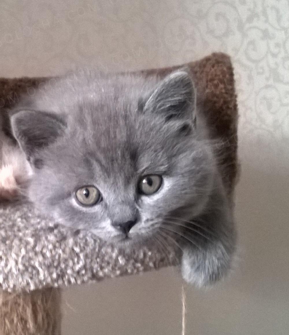 Котенок породы Scottish Straight (Шотландская прямоухая)