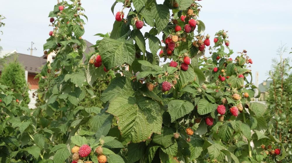 продам саженцы малины Бруствяна