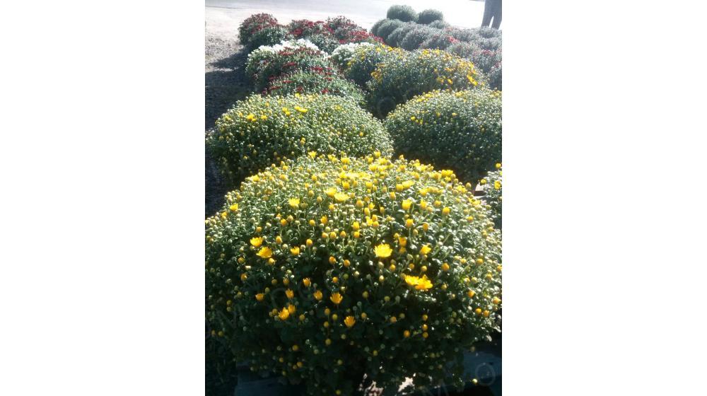 Продам хризантему с. Хотов