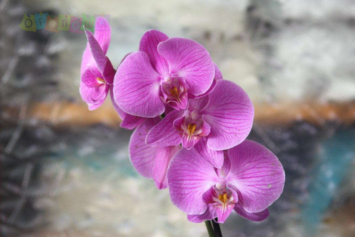 Орхидея фаленопсис  Mikrolfor