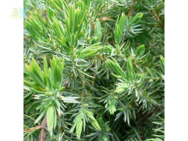 Можжевельник прибрежный Шлягер \ Juniperus conferta Schlager