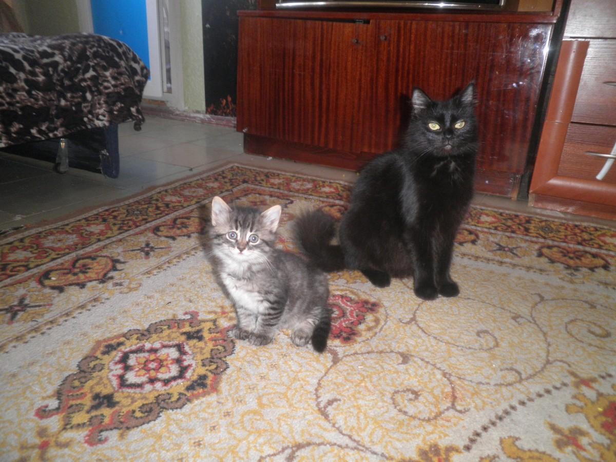 подарю хорошему хозяину красивых пушистых котят