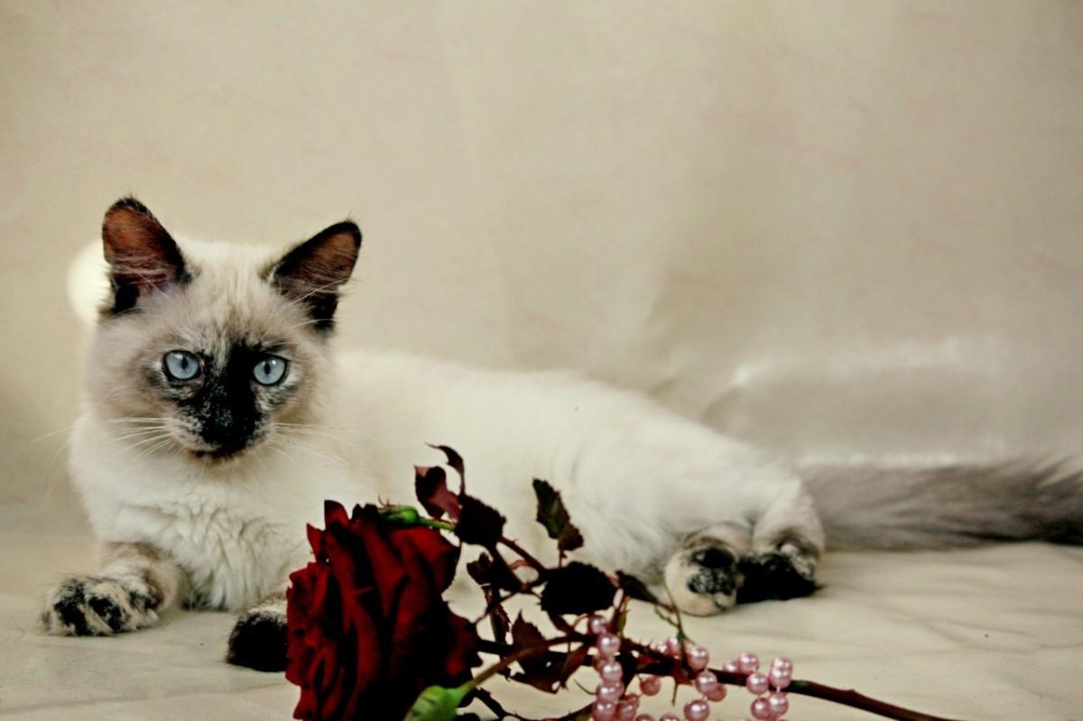 Продам Балинезийскую кошку