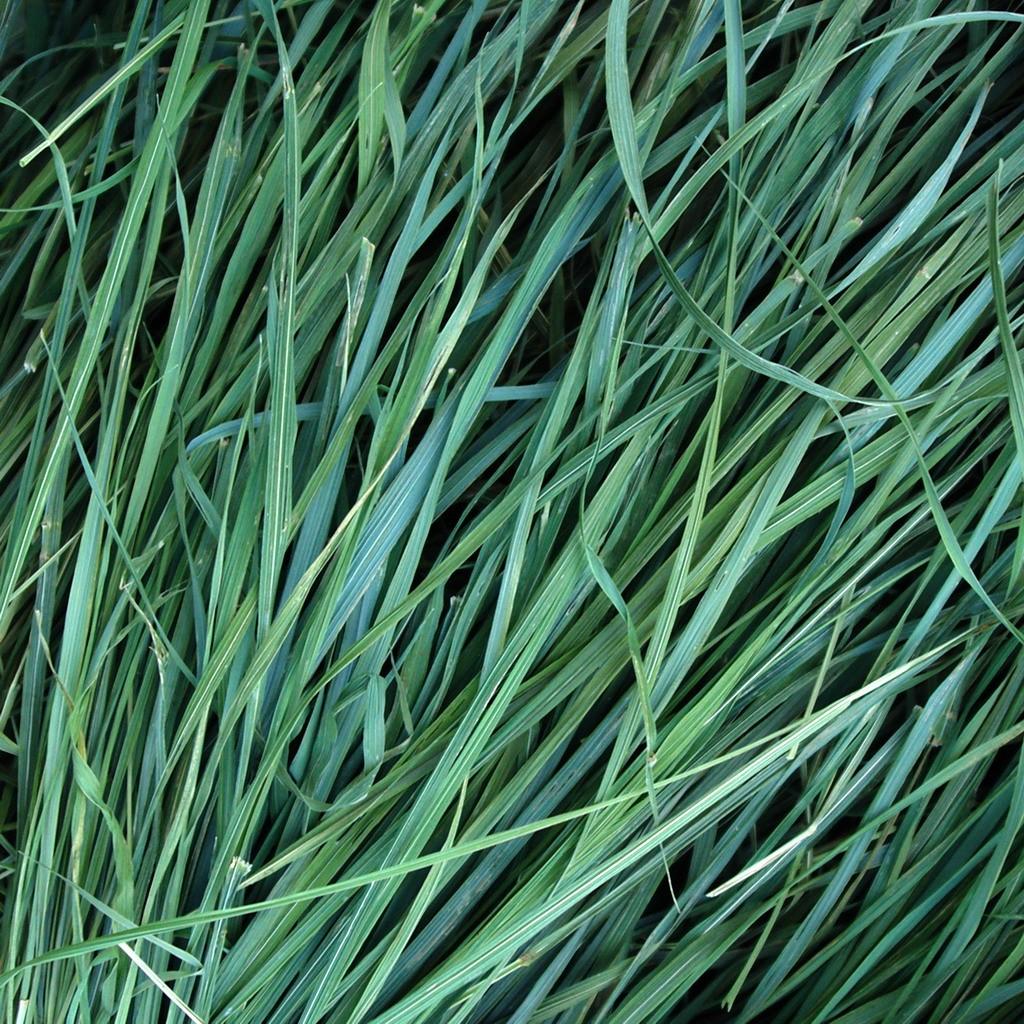Сушеная трава зубровка (Hierochloe odorata)