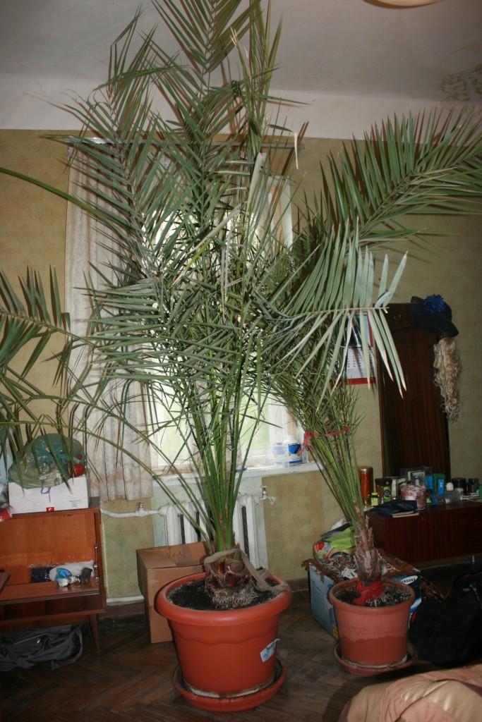 Продам пальму финиковую, 3,5 м