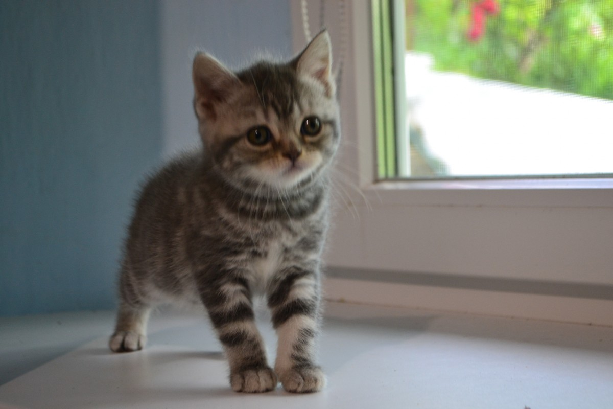 срочно котята скотиш фолд и страйт