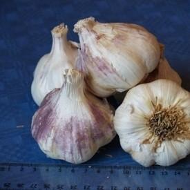 Продам насіння часнику на посів осінь 2017р.