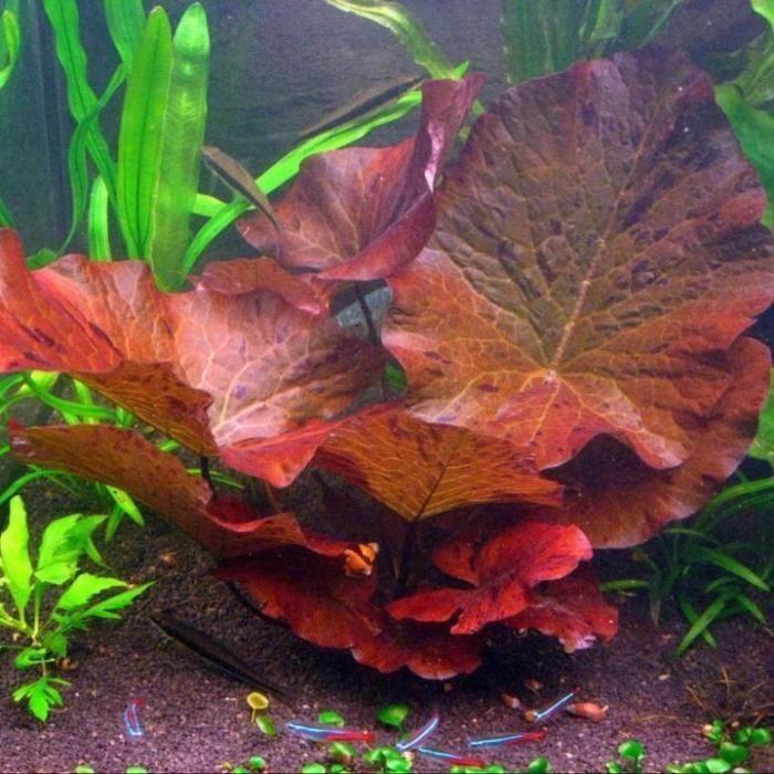 Аквариумные растения Нимфея Красная, Апоногетон