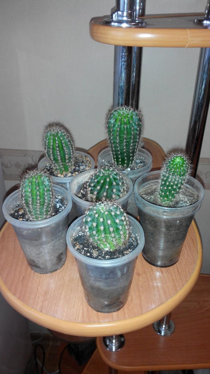 Продам кактусы.