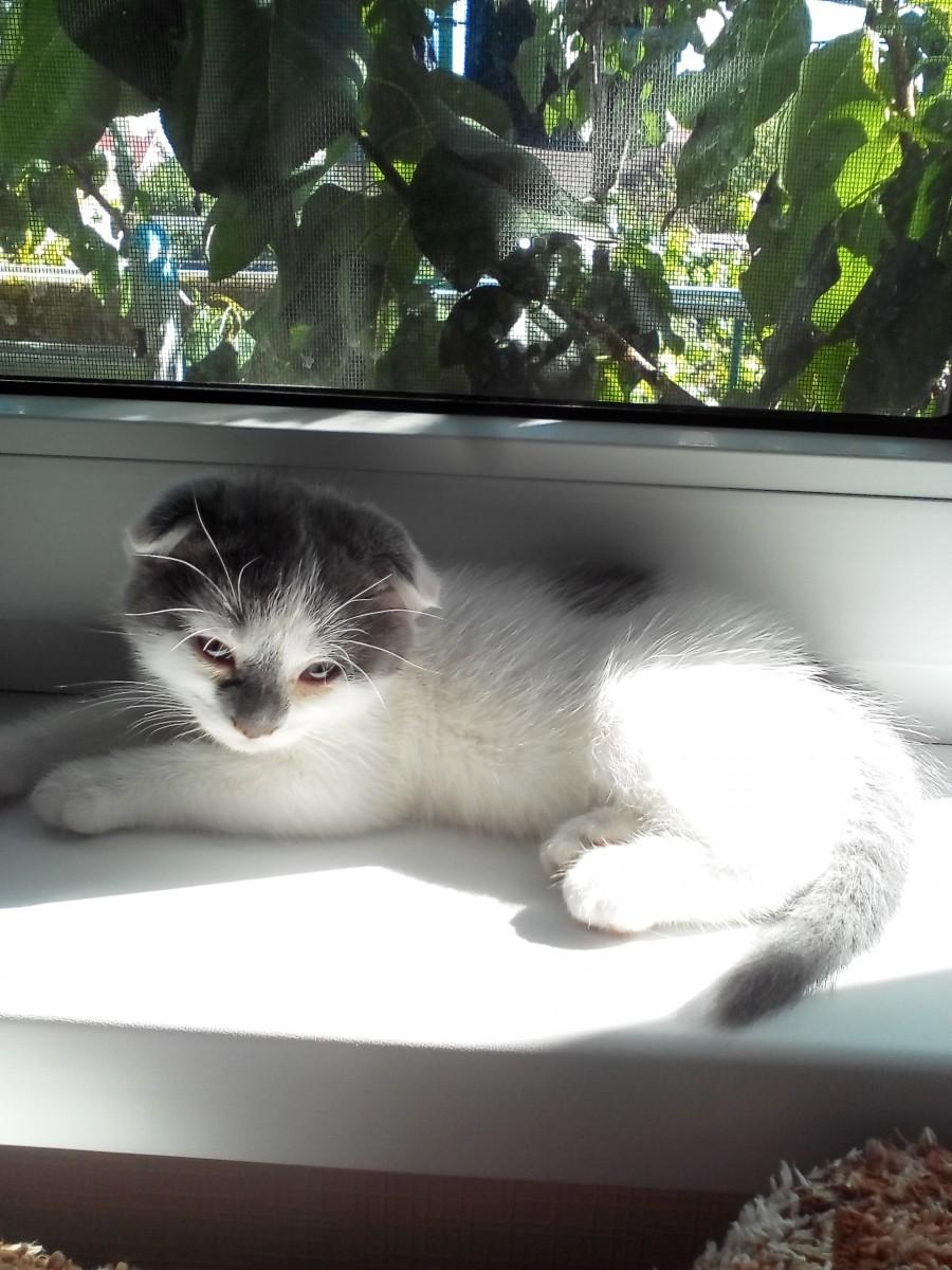 Продам котенка породы шотландский вислоухий