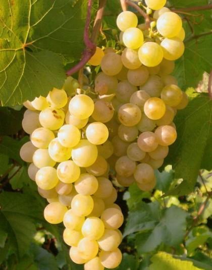 Продам виноград сорта Первенец магарача