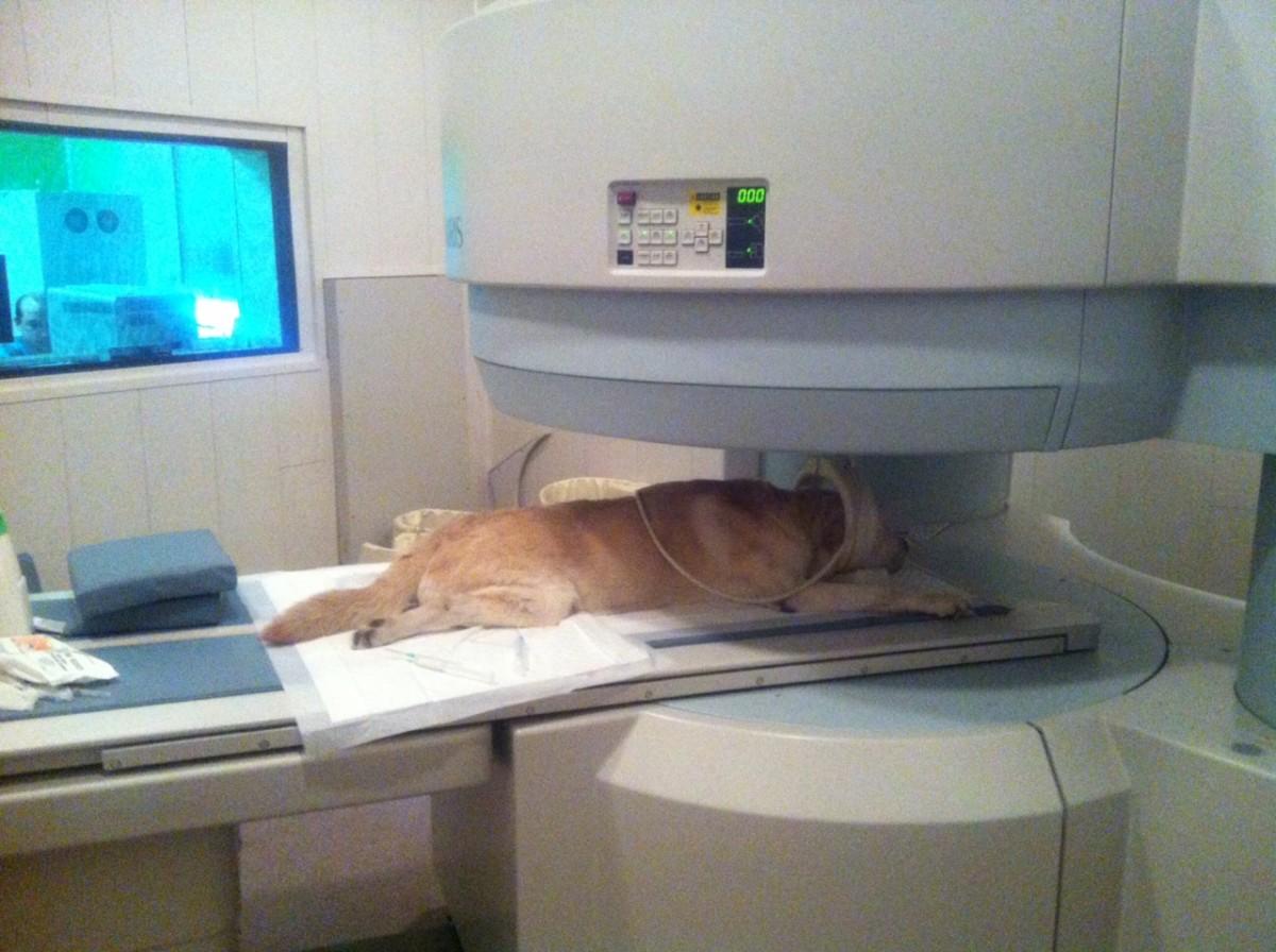 МРТ животным + официально + днем = 1200 грн