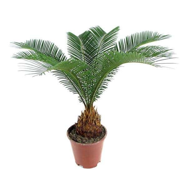 Семена саговой пальмы цикас + инструкция