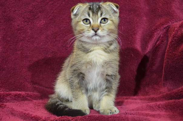 Шотландский вислоухий котенок. Продажа.