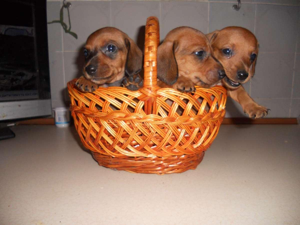 Продам щенков карликовой таксы 4 мальчика 2 девочки.