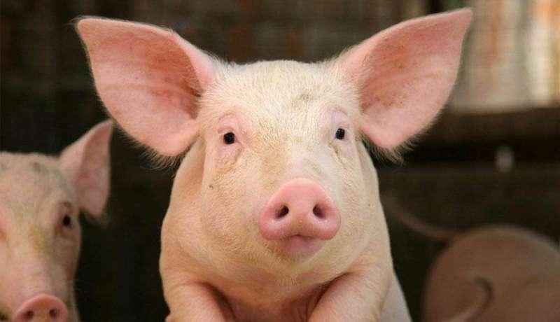 Работник на свиноферму (Польша)