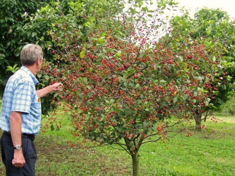 Продам саженцы вишни крупноплодной и низкорослой.