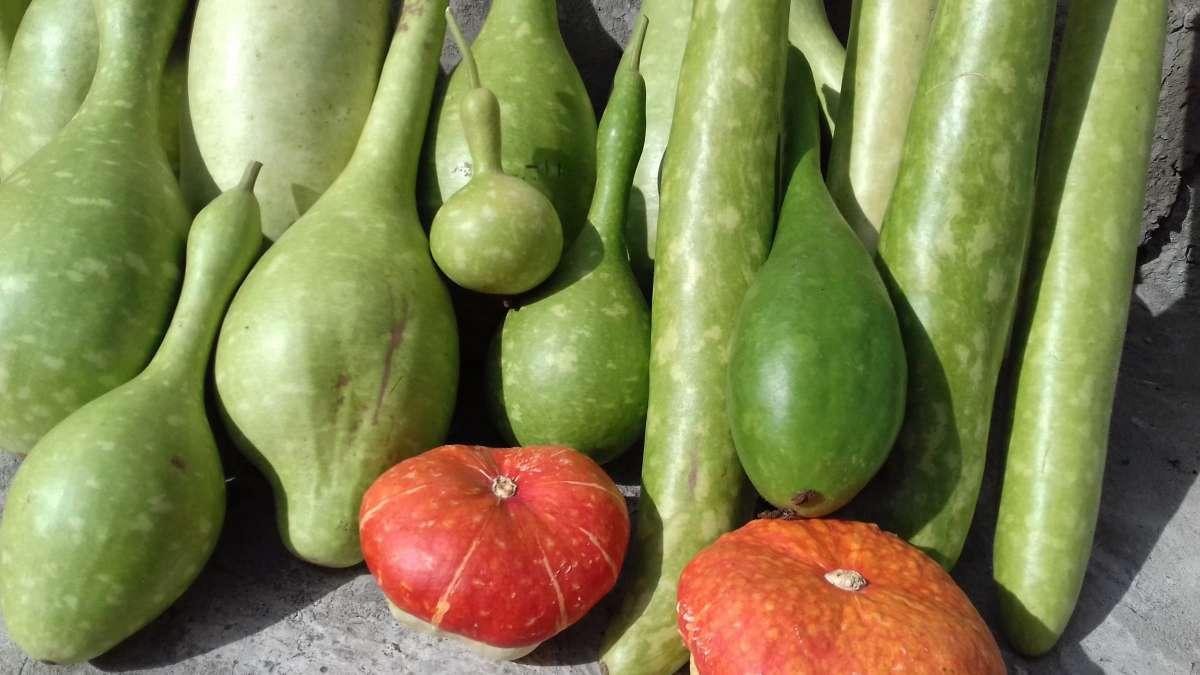 семена лагенарии