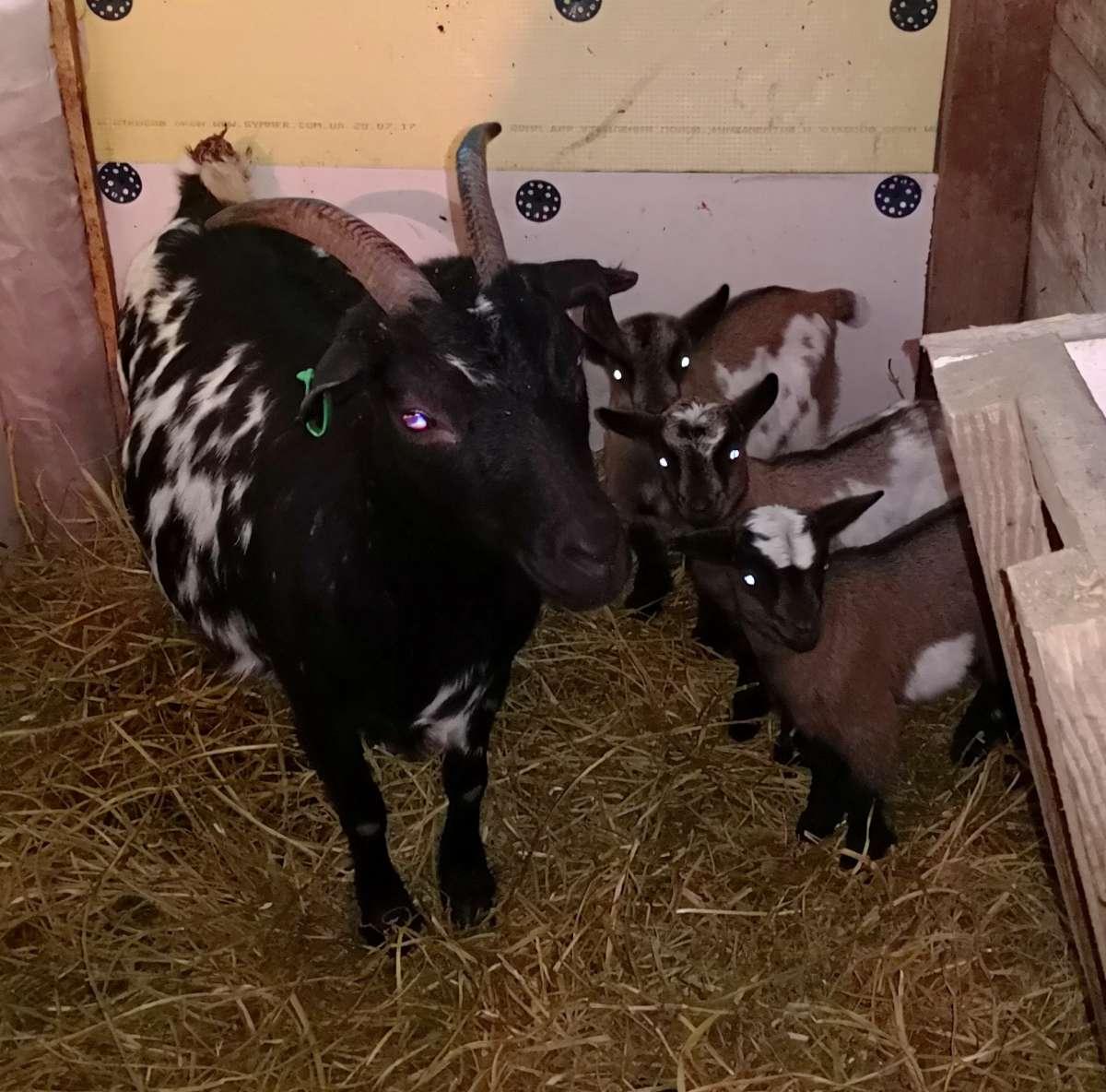 Камерунские козлята (козочки, козлики)