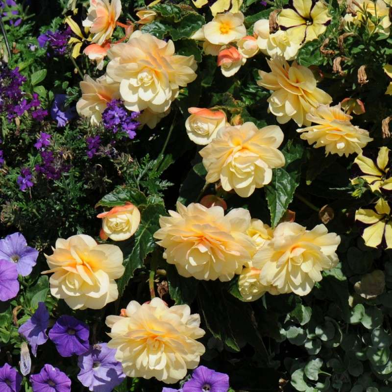 Бегонии ампельные красивоцветущие