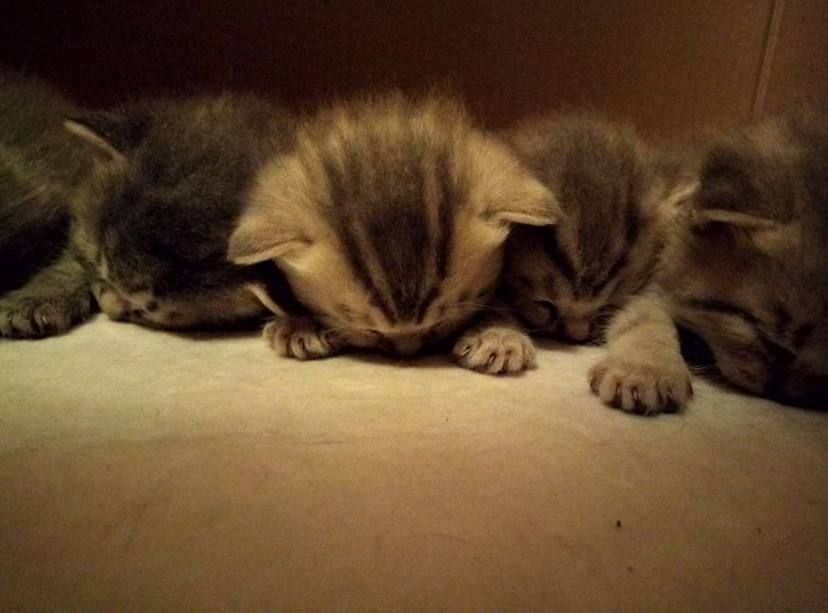 Шотландские котята в заботливые руки