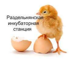 реализуем суточных и подросших цыплят,утят