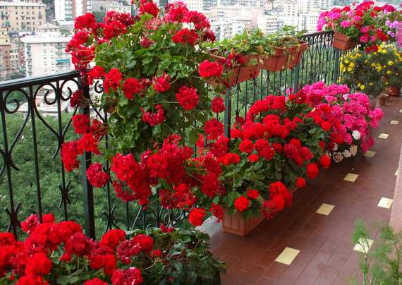 Пеларгония ампельная - эффектная бархатная, огромные цветы - цветущая!