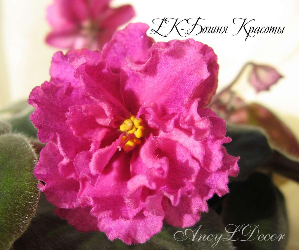 Фиалки сортовые, детка ЕК-Богиня Красоты - огромные цветы