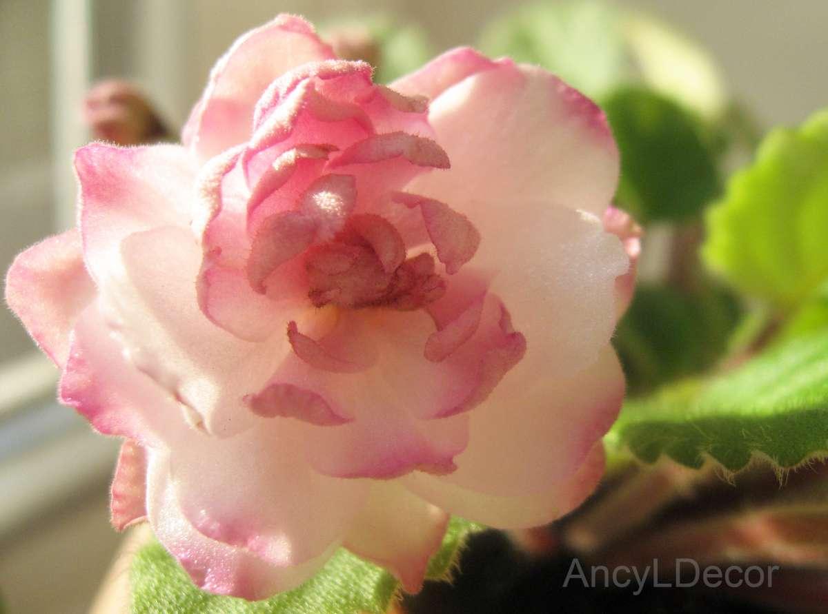 Фиалки, детка Lituanika розово-кремово-персиковые цветы-георгинчики