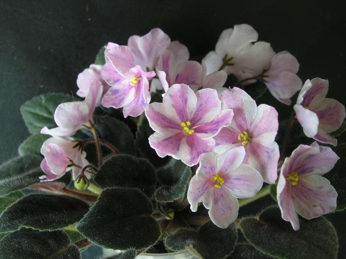 Фіалка-химера Ness' Spring Blash