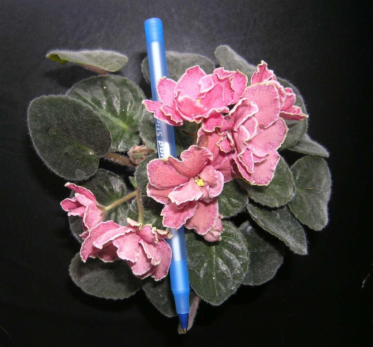 Квітучі молоді фіалки