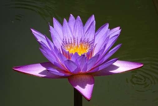 Семена лотоса - для водоемов и аквариумов