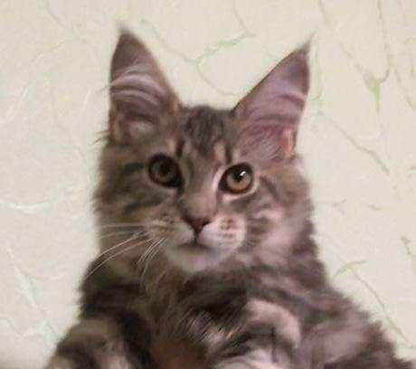 Мейн-кун ласковый котёнок