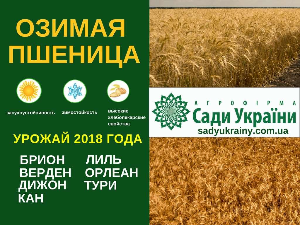 Посевной материал озимой пшеницы украинской селекции