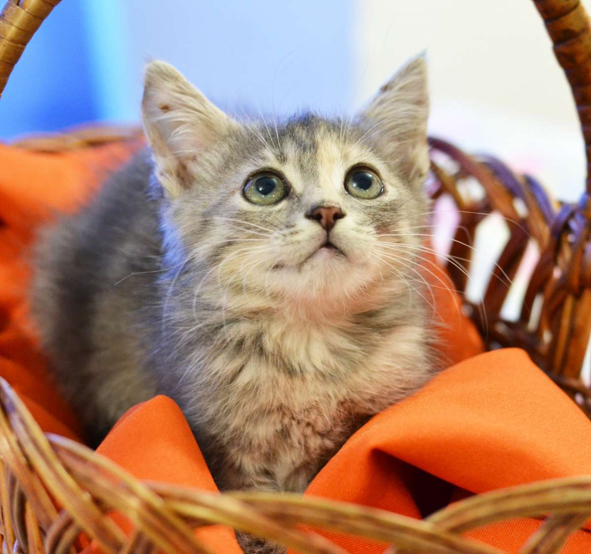 Серебристый полосатый котенок Филя, 1 месяц
