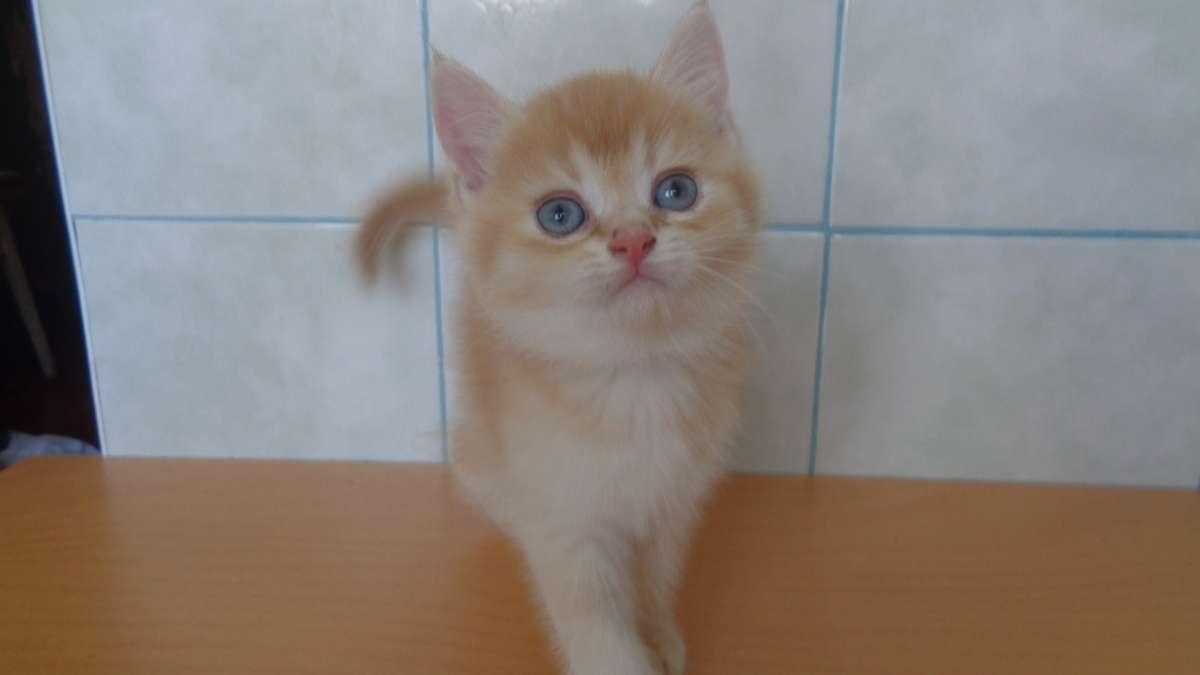 Рыжие британские котята