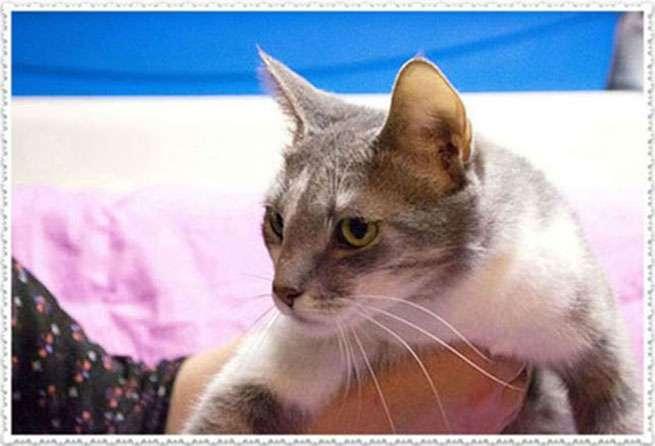 Фиса - очаровательная серо-белая кошечка мечтает стать домашней!