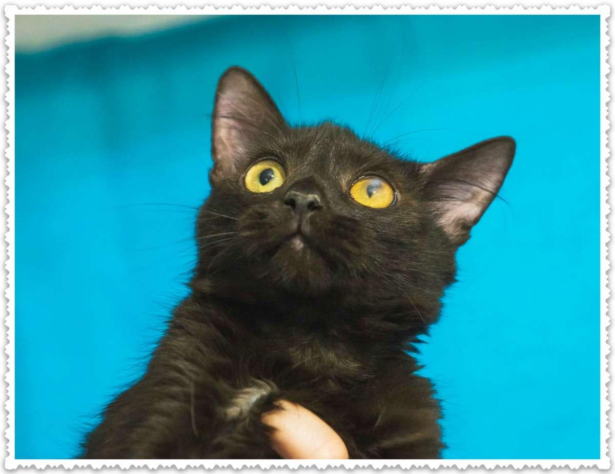 Дилан, 3 месяца, черный котёнок ищет любящих хозяев!