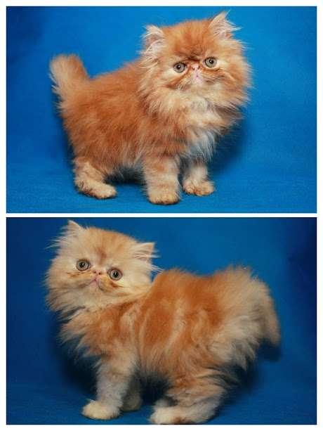Яркие породистые  персидские  котята